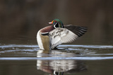 A Male Wood Duck, Aix Sponsa, Flapping its Wings and Rearing Up Out of the Water Photographic Print by Robbie George