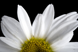 A Shasta Daisy, Leucanthemum X Superbum Photographic Print by Joel Sartore