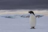 An Adelie Penguin, Pygoscelis Adeliae, on the Antarctic Peninsula Photographic Print by Cristina Mittermeier