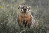 A Badger Looks Up from a Field of Grass and Sagebrush Photographic Print by Tom Murphy