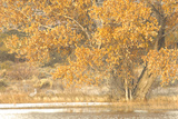 A Pair of Sandhill Cranes Walk under a Fall-Colored Tree on the Side of a Small Lake Photographic Print by Michael Forsberg