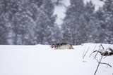A Gray Wolf, Canis Lupus, Moving Through Deep Snow Photographic Print by Robbie George