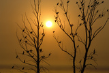 Cormorants Roost in Trees at Sunset Photographic Print by Michael Forsberg