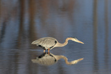 A Great Blue Heron, Ardea Herodias, Stalking its Prey Photographic Print by Robbie George