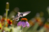 A Female Juvenile Ruby-Throated Hummingbird Drinking Nectar from a Coneflower Photographic Print by Robbie George