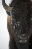Close Up Portrait of an American Bison, Bison Bison Photographic Print by Robbie George