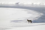 A Coyote, Canis Latrans, Standing on Ice Flats by the Water's Edge Photographic Print by Robbie George