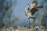 A Sandhill Crane Leaps While Performing a Courtship Dance Photographic Print by Michael Forsberg