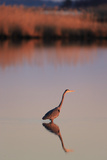 A Great Blue Heron, Ardea Herodias, Wading in the Chesapeake Bay Photographic Print by Robbie George