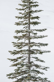 A Lodgepole Pine Covered in Snow in Winter Photographic Print by Tom Murphy