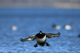 A Male Greater Scaup Duck, Aythya Marila, Prepares to Land in Water. Canvasbacks Swim Behind Photographic Print by Robbie George