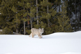 A Bobcat, Lynx Rufus, Walking in a Snowy Landscape Photographic Print by Robbie George