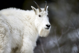 Portrait of a Mountain Goat, Oreamnos Americanus, Pausing and Looking Back Photographic Print by Robbie George