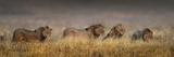 African Lions (Panthera Leo) Cohort, Ngorongoro Crater, Ngorongoro Conservation Area, Tanzania Fotografisk tryk af Panoramic Images