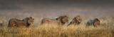 African Lions (Panthera Leo) Cohort, Ngorongoro Crater, Ngorongoro Conservation Area, Tanzania Photographic Print by Panoramic Images