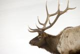 Portrait of a Bull Elk, Cervus, Elaphus, in a Stark Snowscape Photographic Print by Robbie George