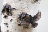 A Mother European Starling, Sturnus Vulgaris, Swoops in to Feed Her Young Photographic Print by Robbie George