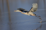 A Great Blue Heron, Ardea Herodias, Takes Flight Photographic Print by Robbie George