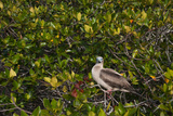 A Red Footed Booby on Genovesa Island in the Galapagos Photographic Print by Karen Kasmauski