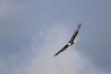 A Bald Eagle, Haliaeetus Leucocephalus, in Flight Photographic Print by Robbie George
