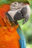 Portrait of a Harlequin Macaw Photographic Print by Macduff Everton
