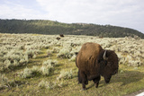 Bison Roam in a Field in the Lamar Valley Photographic Print by Stacy Gold