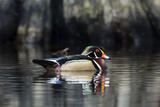 Portrait of a Male Wood Duck, Aix Sponsa, Swimming Photographic Print by Robbie George