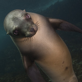 A Sea Lion Swims in Waters Off the Channel Islands Photographic Print by Cesare Naldi