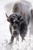 Portrait of a Frost-Covered American Bison, Bison Bison Photographic Print by Robbie George