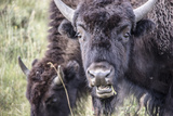 Close Up of Bison Grazing in the Lamar Valley Photographic Print by Stacy Gold