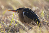 A Least Bittern, Ixobrychus Exilis, in Marsh Grasses Photographic Print by Robbie George
