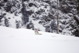 A Gray Wolf, Canis Lupus, Resting in a Snowy Meadow Photographic Print by Robbie George
