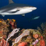 A Caribbean Reef Shark Swims in Waters Off Roatan Island Photographic Print by Cesare Naldi