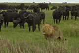 A Herd of African Buffalo Watching Two Lions Pass By Photographic Print by Beverly Joubert