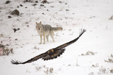 A Golden Eagle, Aquila Chrysaetos, Flies Off with Food from a Coyote'S, Canis Latrans, Fresh Kill Photographic Print by Robbie George