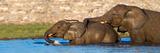 African Elephants (Loxodonta Africana) Bathing at Waterhole, Etosha National Park, Namibia Fotografisk tryk af Panoramic Images