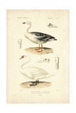 Antique Swan Study Posters by N. Remond