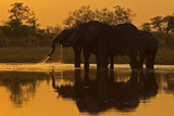 An African Elephant Herd Drinking at Sunset in a Spillway Photographic Print by Beverly Joubert