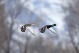 A Male and Female Mallard, Anas Platyrhynchos, Flying in Unison Showing their Distinct Plumage Photographic Print by Robbie George