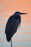 A Great Blue Heron, Ardea Herodias, Stands Still in the Sunlight Painted Early Morning Waters Photographic Print by Robbie George