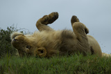 A Male Lion Resting and Rolling in the Grass Photographic Print by Beverly Joubert