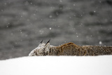 A Bobcat, Lynx Rufus, Lurking Behind a Snow Bank Photographic Print by Robbie George