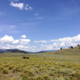 Bison in a Field in the Lamar Valley Photographic Print by Stacy Gold