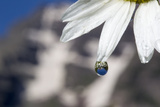 Close Up of a Water Drop on the Edge of a Wild Chamomile Flower Petal, Matricaria Perforata Photographic Print by Robbie George