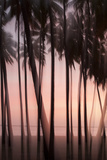 The Pink Light of Sunset Illuminate Palms in the Kapuaiwa Coconut Grove, Molokai, Hawaii Photographic Print by Jonathan Kingston