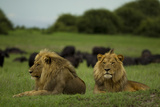 Two Male Lions at Rest Near a Herd of African Buffalo Photographic Print by Beverly Joubert