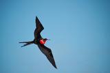A Magnificent Frigatebird Flies Above North Seymour Island Photographic Print by Karen Kasmauski