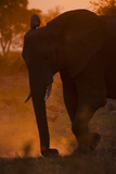 An African Elephant Dusting at Sunset Photographic Print by Beverly Joubert