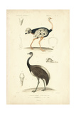 Antique Ostrich Study Art by N. Remond