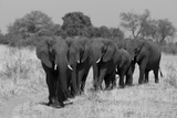 An African Elephant Herd Walking in a Line on a Dirt Road Photographic Print by Beverly Joubert